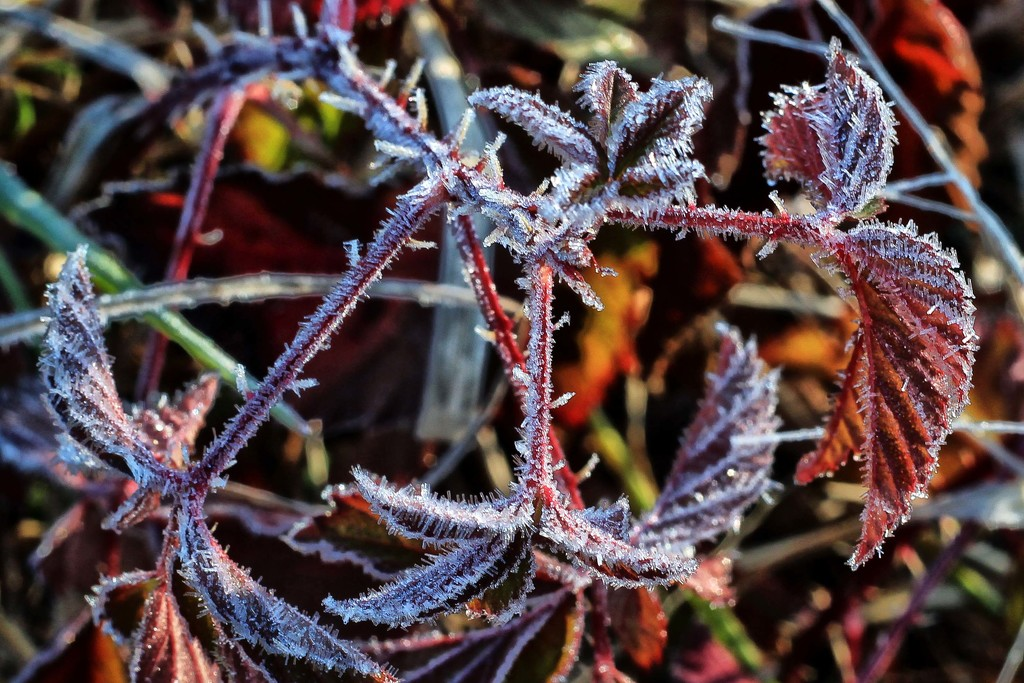 Frost Makes Cold Days Cheerier by milaniet