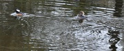 2nd Feb 2020 - Hooded mergansers have arrived.