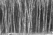 2nd Feb 2020 - Birch Trees