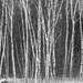 Birch Trees  by farmreporter