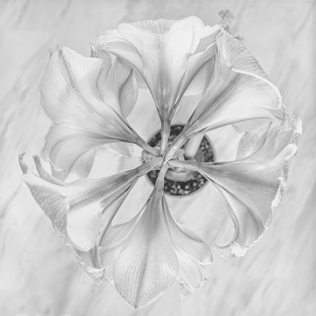 Amaryllis in the Round by taffy
