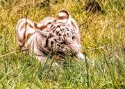 3rd Feb 2020 - White Tiger Cub