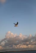 2nd Feb 2020 - Mid flight seagull