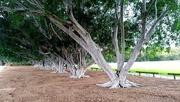 2nd Feb 2020 - Avenue of Fig trees  Wynnum