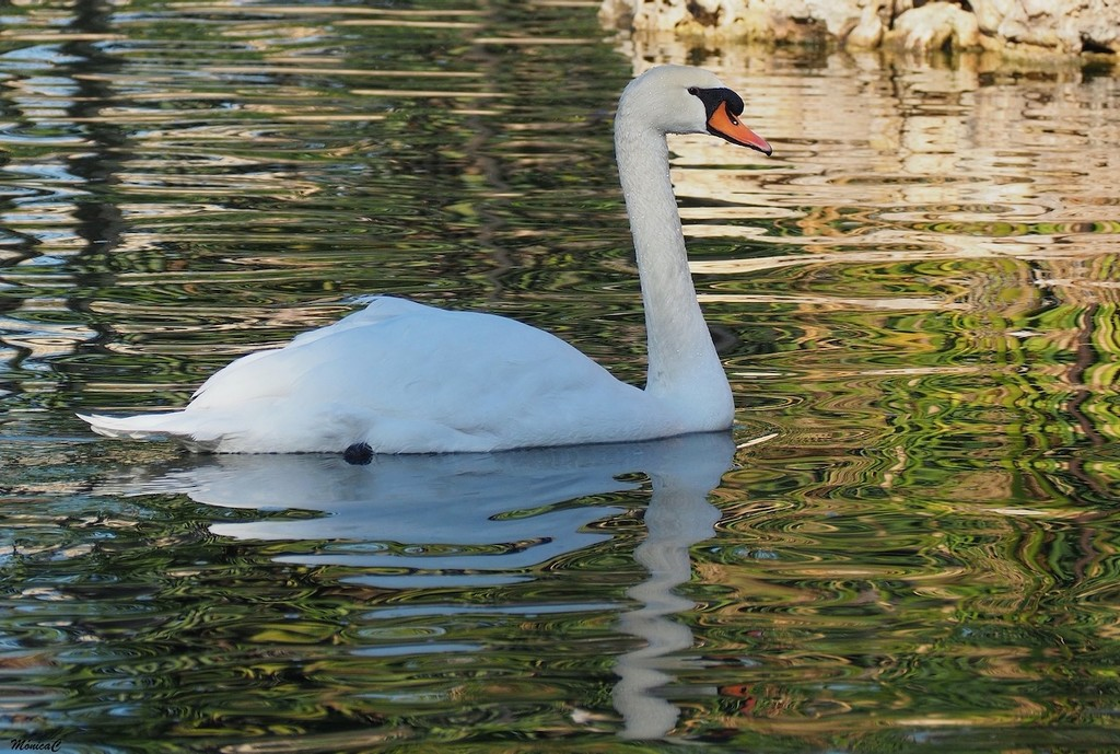 White swan by monicac