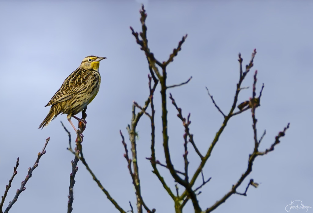First Meadowlark by jgpittenger