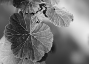 2nd Feb 2020 - Geranium Leaf