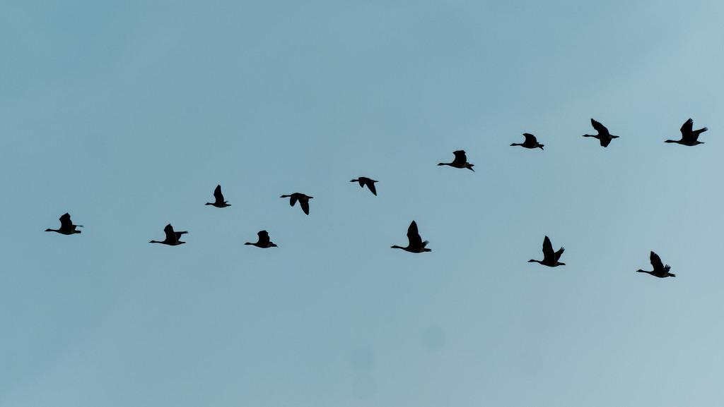 geese by rminer