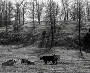 3rd Feb 2020 - Longhorns
