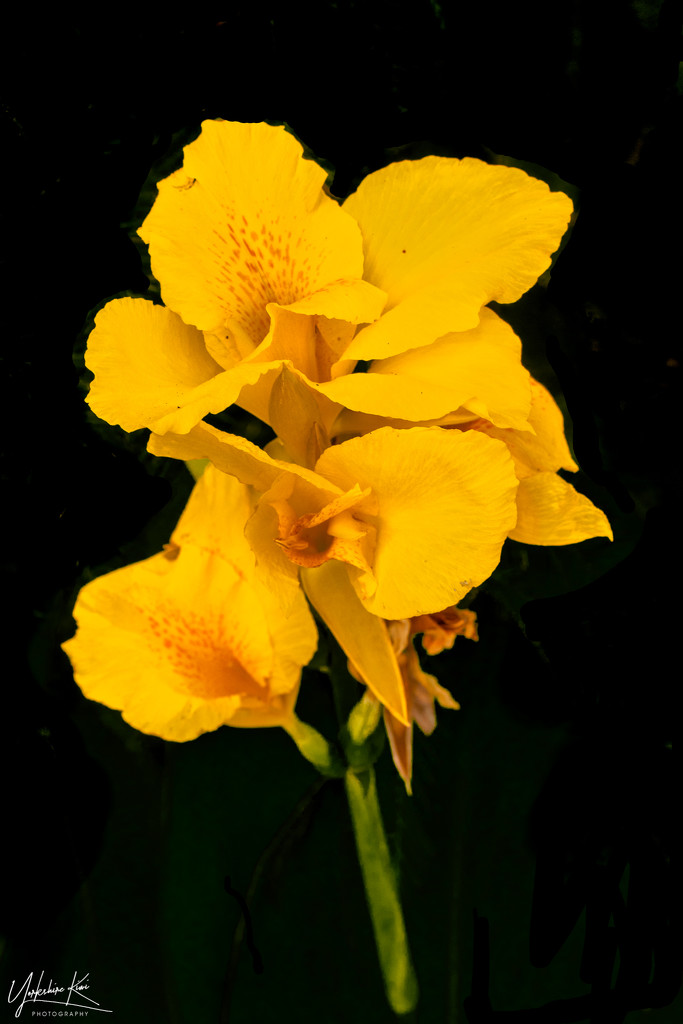 Canna Lily by yorkshirekiwi