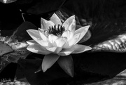 4th Feb 2020 - Water Lily