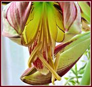 4th Feb 2020 - Close-up - amaryllis