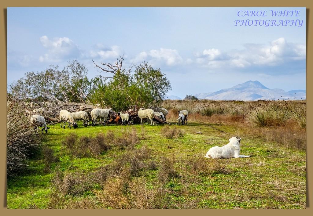 The Good Shepherd,Salt Lake,Kos by carolmw