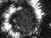 4th Feb 2020 - Spiral of Air Plants