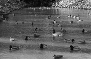 4th Feb 2020 - Ducks in the pond