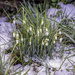 Snowdrops by pcoulson