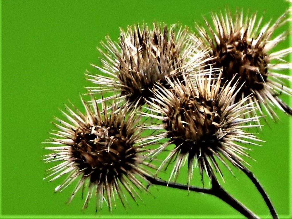 Spiky Bunch by carole_sandford