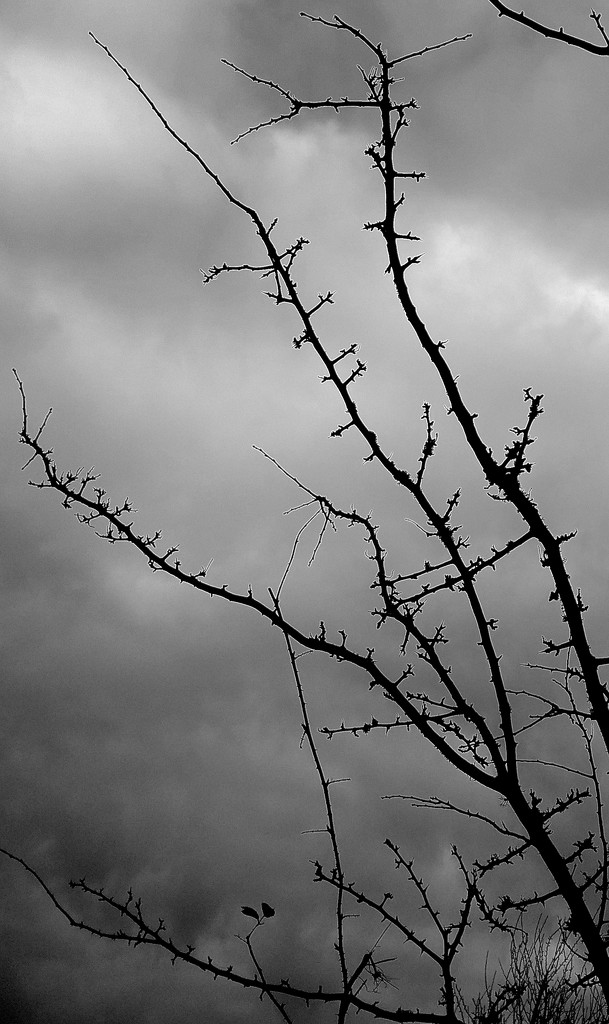 Bare Branches by redandwhite