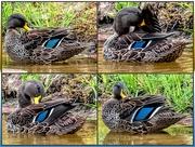 5th Feb 2020 - Mallard Duck having a preening session.