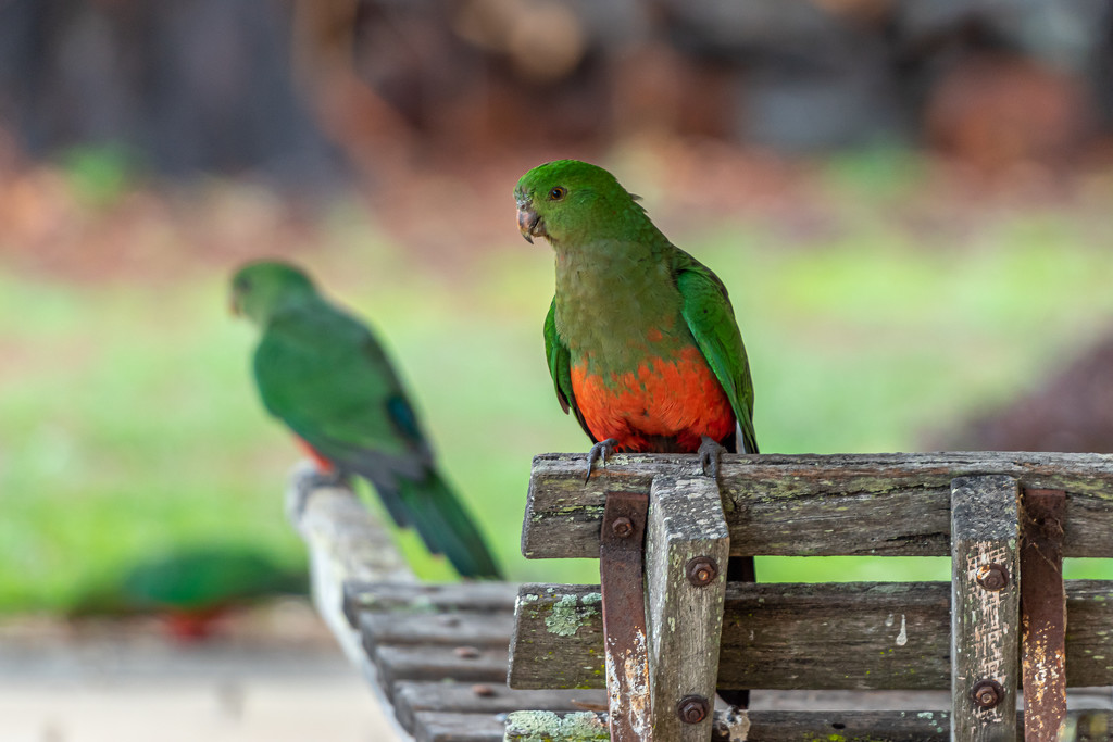 King Parrots by teodw