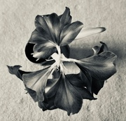 5th Feb 2020 - 5: Forms in Nature: Amaryllis