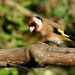 GOLDFINCH by markp