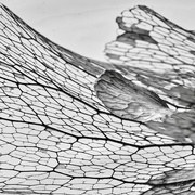 5th Feb 2020 - Lacy Leaf Veins From My Staghorn Fern_DSC9966
