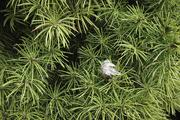 5th Feb 2020 - Alberta Spruce with a leaf