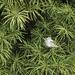 Alberta Spruce with a leaf