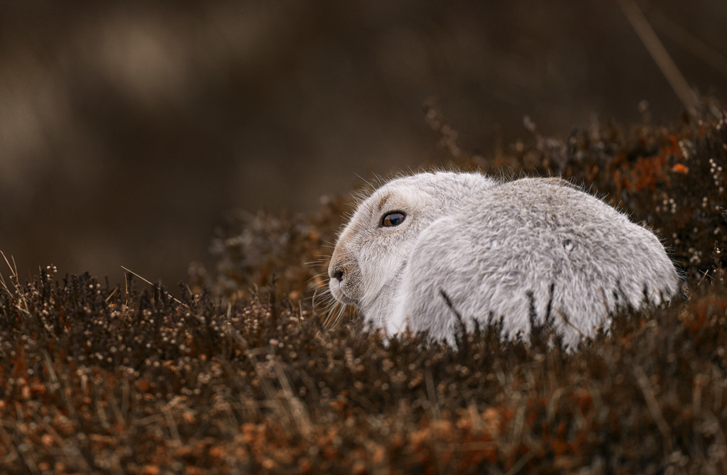 Mountain Hare by markyl