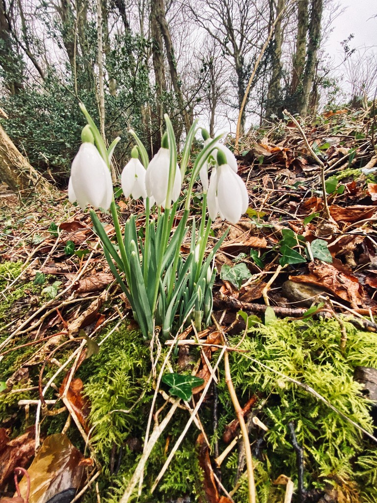 First of the snowdrops. by darrenboyj