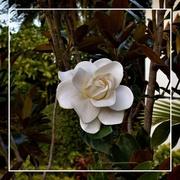 6th Feb 2020 - Magnolia ~