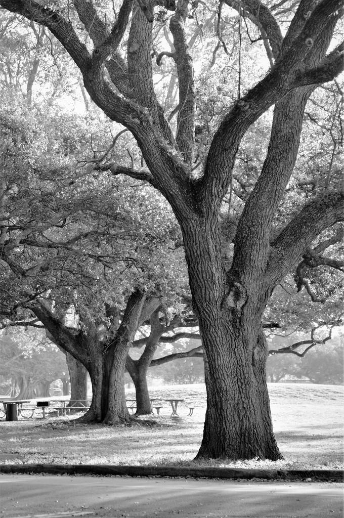 Live Oak by chejja