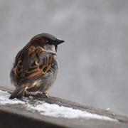 5th Feb 2020 - Sweet Sparrow