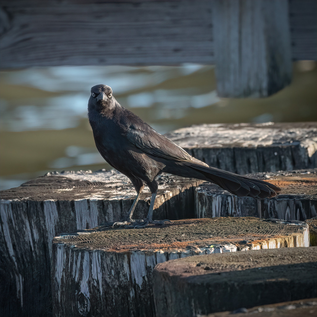 Common or Long-tailed Grackle? by mikegifford