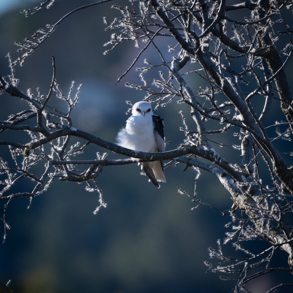 White-tailed Kite by mikegifford