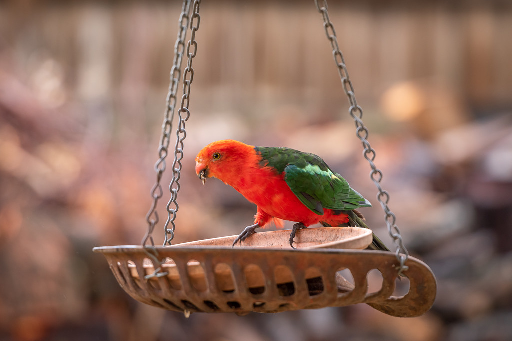 Male King Parrot by teodw