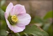 3rd Feb 2020 - Lenten Rose