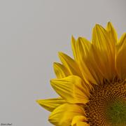 4th Feb 2020 - Sunflower