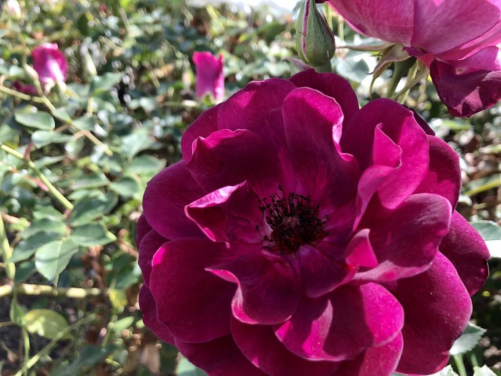 Rose Garden 2 by loweygrace