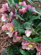 5th Feb 2020 - Another shot of the hellebore.