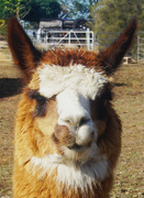 31st Jan 2020 - Smiling Alpaca