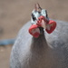 February Series - A month of Guinea Fowl (6) by kgolab