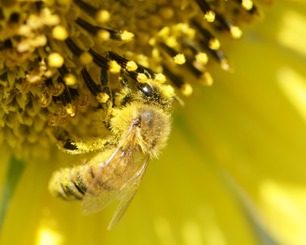 How Much Pollen Can She Carry?_DSC0171 by merrelyn