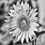 6th Feb 2020 - Sunflowers Are Even Cheery In B&W DSC9886