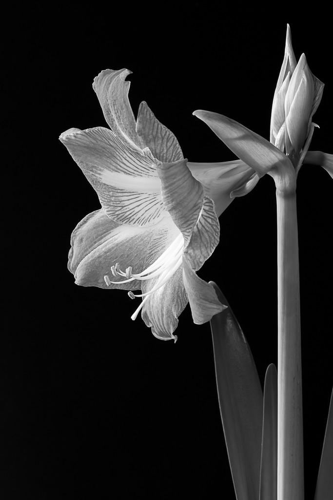 Amaryllis First Bloom by jnorthington