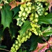 Mahonia in flower  by beryl