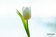 6th Feb 2020 - White tulip