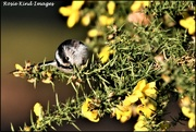 6th Feb 2020 - Long tailed tit