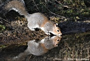 6th Feb 2020 - Another thristy squirrel
